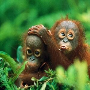 6D5N Bukit Lawang + Tangkahan Tour Package - Indonesia Travels