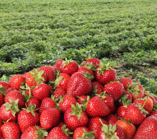 strawberry farm bandung